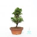 Cryptomeria japonica - 21 cm