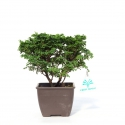 Chamaecyparis obtusa - false cypress - 19 cm