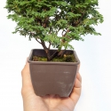 Chamaecyparis obtusa - falso cipresso - 19 cm