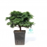 Chamaecyparis obtusa - false cypress - 20 cm