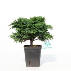 Chamaecyparis obtusa - false cypress - 20 cm
