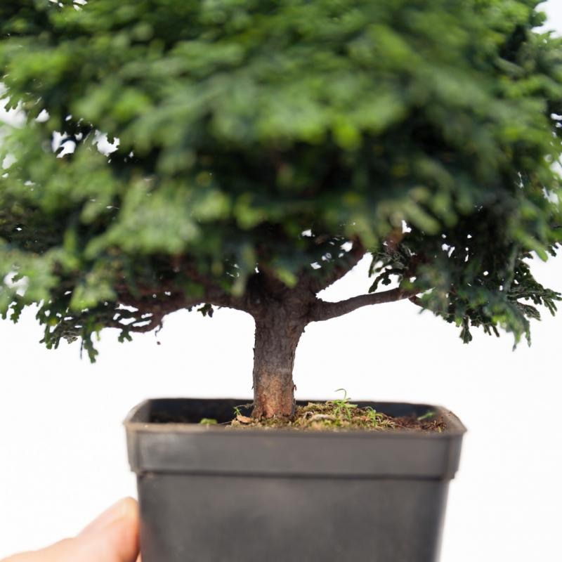 Chamaecyparis obtusa - falso cipresso - 20 cm