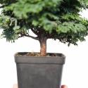 Chaemacyparis obtusa - faux cyprès - 20 cm