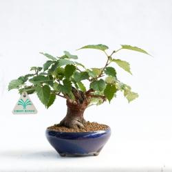 Morus bombicius - Gelso - 20 cm