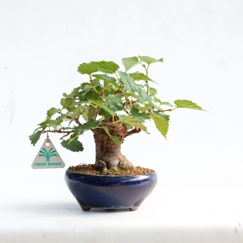 Morus bombicius - Mulberry - 20 cm