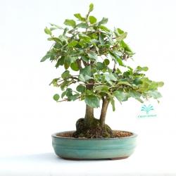 Diospyros kaki rhombifolia - 32 cm