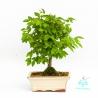 Ulmus parvifolia - 25 cm