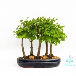 Ulmus parvifolia - 28 cm