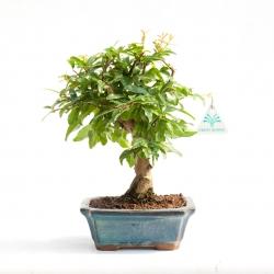 Punica granatum - Pomegranate - 26 cm