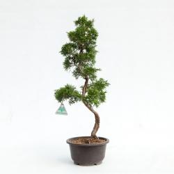 Juniperus chinensis - Ginepro - 54 cm
