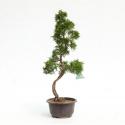 Juniperus chinensis - Genévrier de Chine - 54 cm