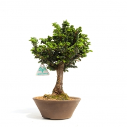Chamaecyparis sekka - 29 cm