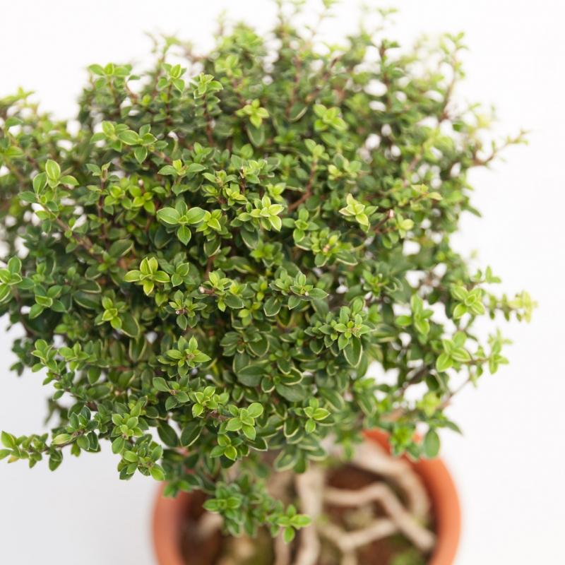 Serissa japonica - 33 cm