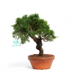 Juniperus chinensis - Genévrier de Chine - 26 cm