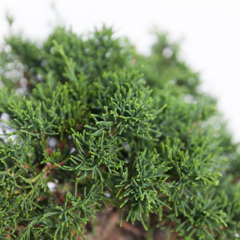Juniperus chinensis - Juniper - 26 cm