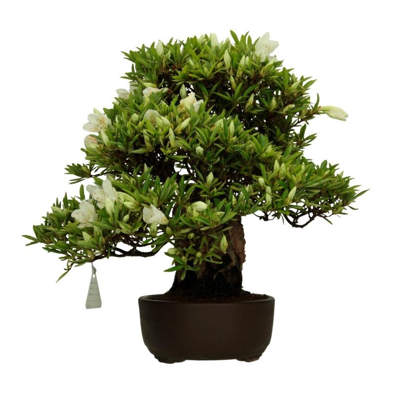 Azalea Secchu-no-Matsu - 40 cm