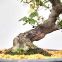 Azalea - 50 cm