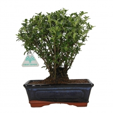Serissa foetida variegata - Serissa - 27 cm