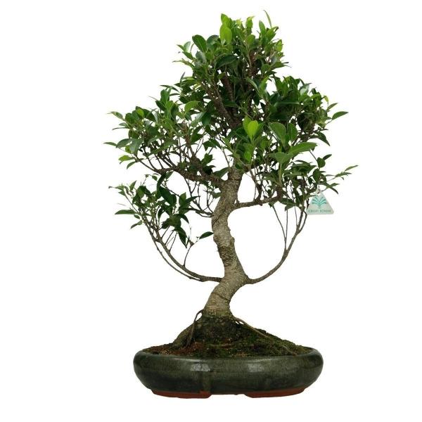 Ficus retusa - 54 cm