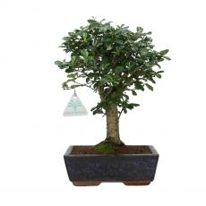 Carmona macrophylla -  Pianta del tè - 30 cm