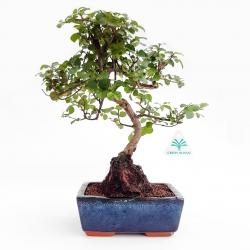 Sagerethia theezans - 30 cm