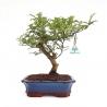 Zanthoxylum - Albero del pepe - 28 cm