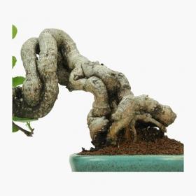 Celastrus orbiculatus - 16 cm