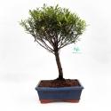 Syzygium communis - Mirto - 36 cm