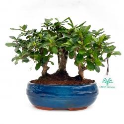 Carmona macrophylla - Tea tree - 22 cm