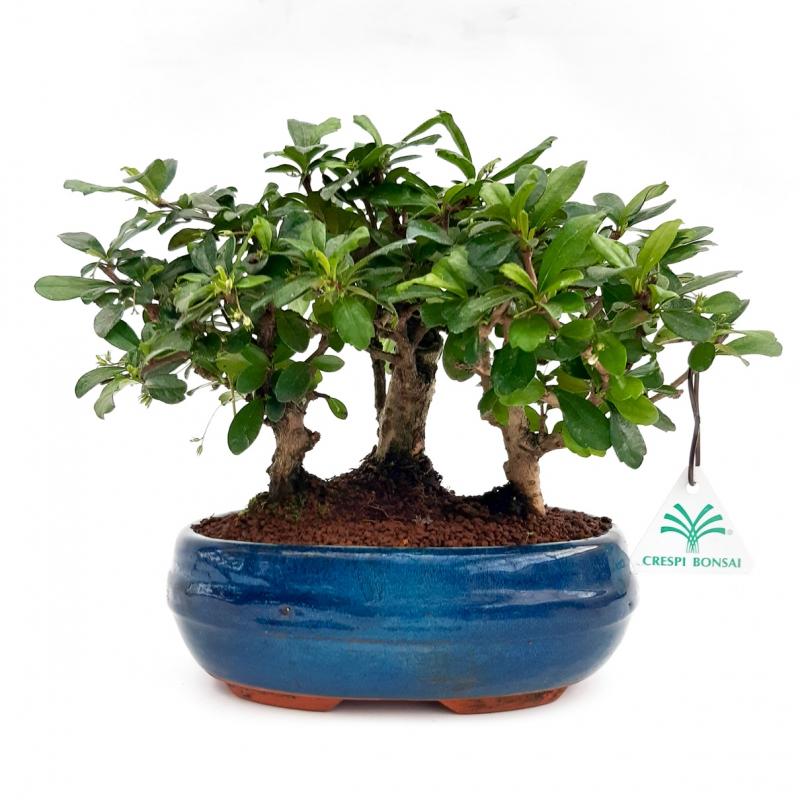 Carmona macrophylla -  Pianta del tè - 22 cm