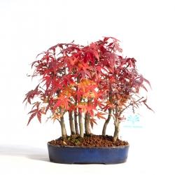 Acer palmatum katsura - acero - 23 cm