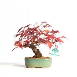 Acer palmatum viridis - érable - 15 cm