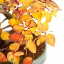 Carpinus - carpino - 24 cm