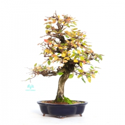 Carpinus koreana - hornbeam - 42 cm