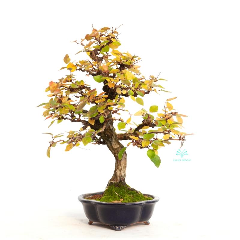 Carpinus koreana - charme - 42 cm