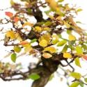 Carpinus koreana - carpino - 42 cm
