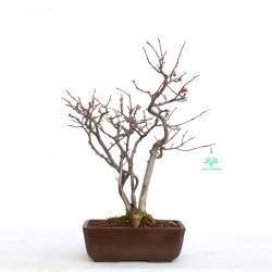 Ilex serrata - agrifoglio - 39 cm