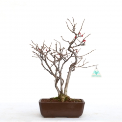 Ilex serrata - holly - 39 cm