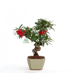 Pyracantha angustifolia - 34 cm