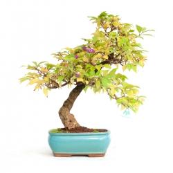 Callicarpa japonica - 49 cm