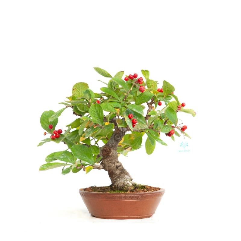 Pourthiaea villosa - 35 cm