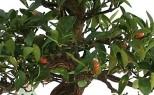 Citrus limun