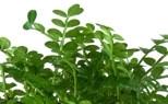 Albero del pepe - Zanthoxylum