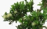 Buxus - Bosso