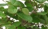 Corylopsis