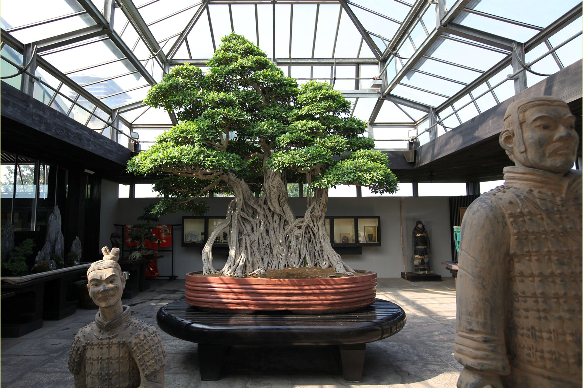 The thousand-year-old Ficus retusa linn