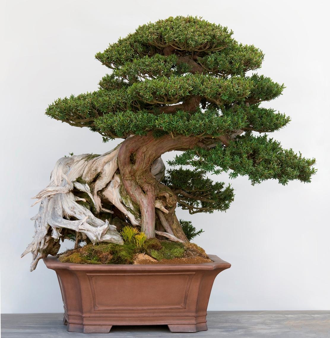 Taxus del monte Ishizuchi